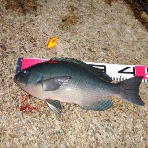 八丈島 夕まずめのフカセ釣りで良型メジナ!