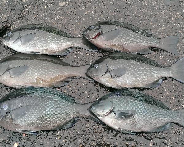 メジナ釣りシーズン開幕?