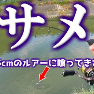 沖縄の都市河川は『海に戻らないサメ』が居着いています