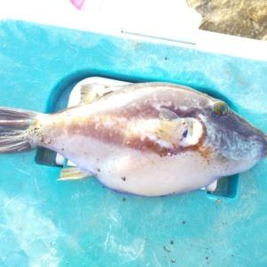 毒魚キタマクラが釣れましたww