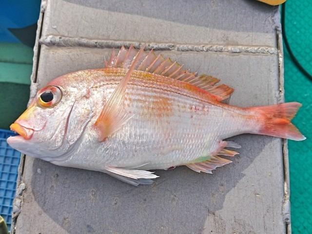 平成最後の釣りは高知でキダイ(レンコダイ)釣り(2019年4月28日)