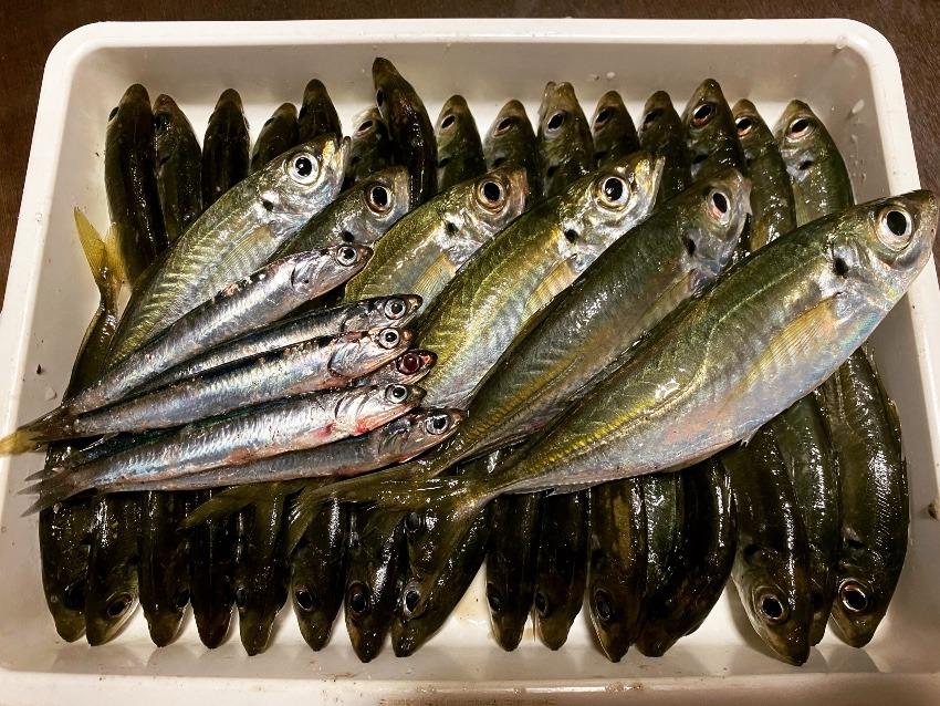 千葉県勝浦港で小アジですが時合いによく釣れた