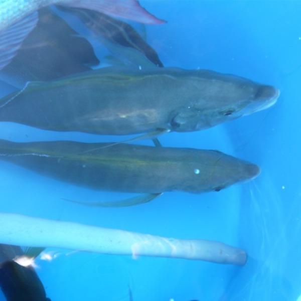 シマアジとタチのリレー釣り。