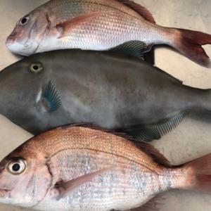 テンヤ&タイラバ でまともにお持ち帰ることができた魚達