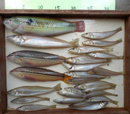夏の魚、ベラ、キスの良型が釣れました